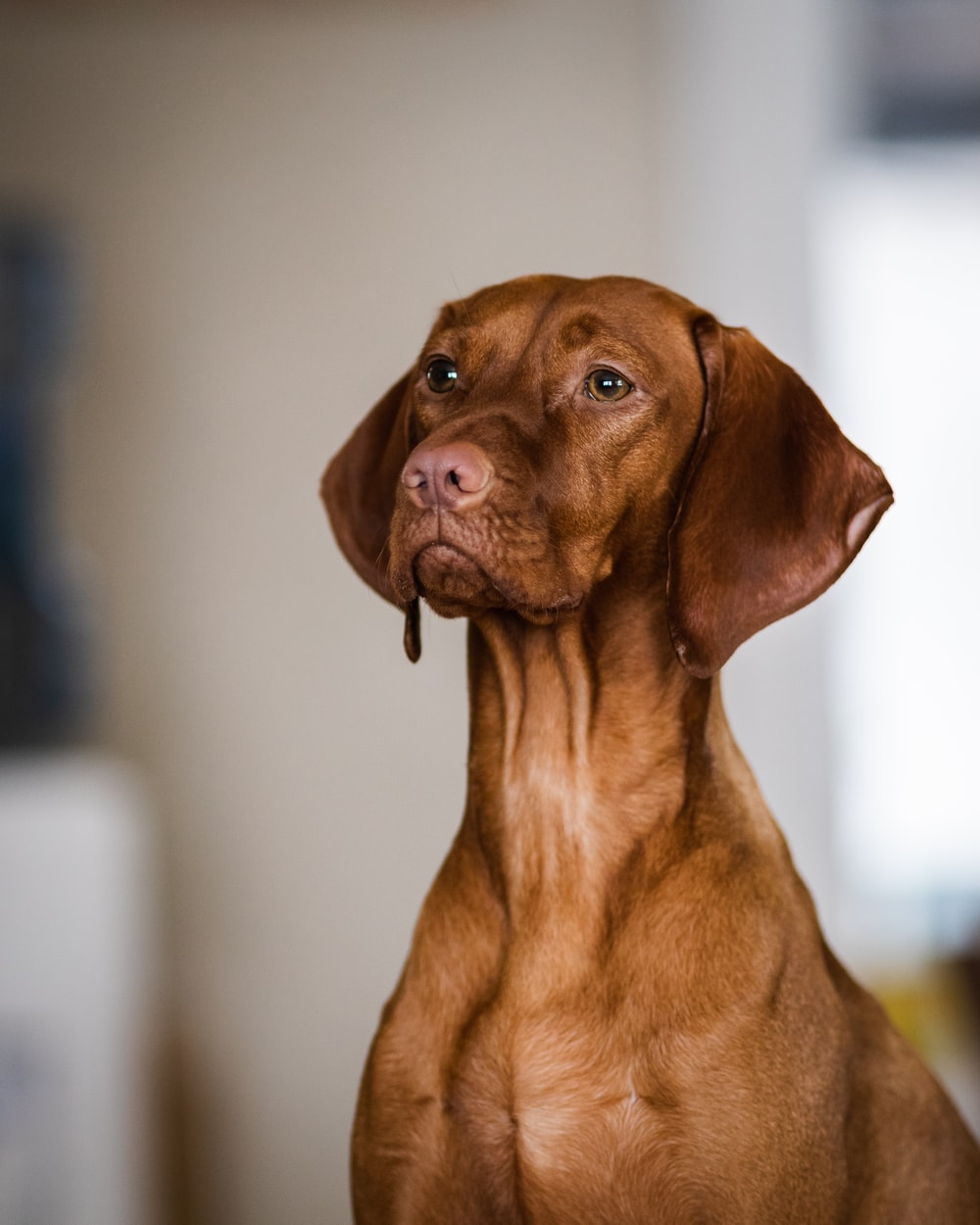 brown short coated dog looking at the camera