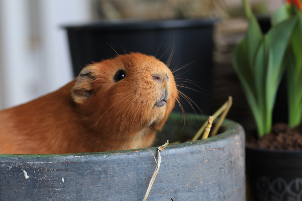 brown guinea pig on blue wooden board