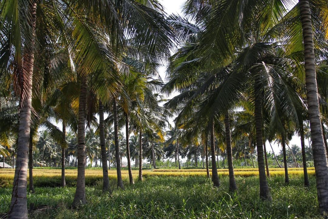 Outside of Erode, Tamil Nadu in a palm grove.
