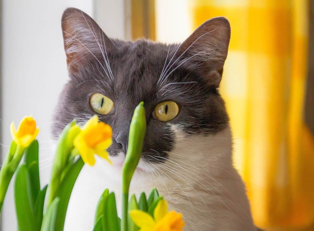 black and white cat beside yellow flowers