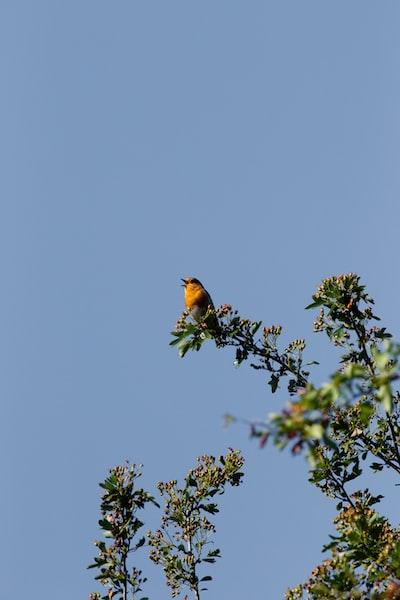 Chirping Robin...