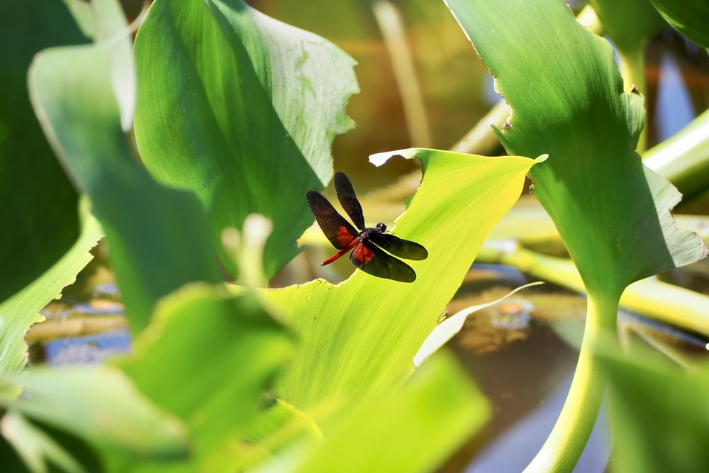 red and black dragonfly perched on green leaf in close up photography during daytime