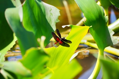red and black dragonfly perched on green leaf in close up photography during daytime paraguay zoom background