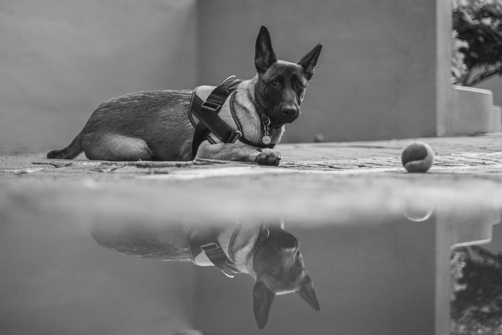 grayscale photo of short coated dog with leash
