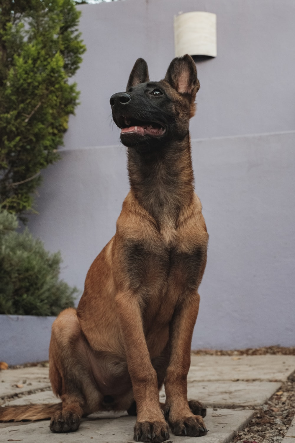 brown and black short coated dog sitting on white concrete floor