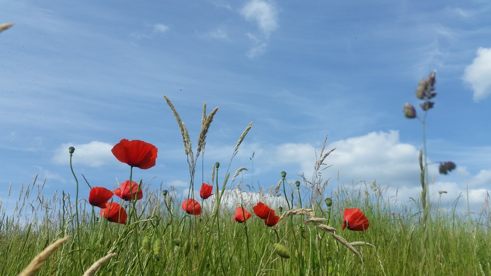 red tulips in green grass field under blue sky during daytime