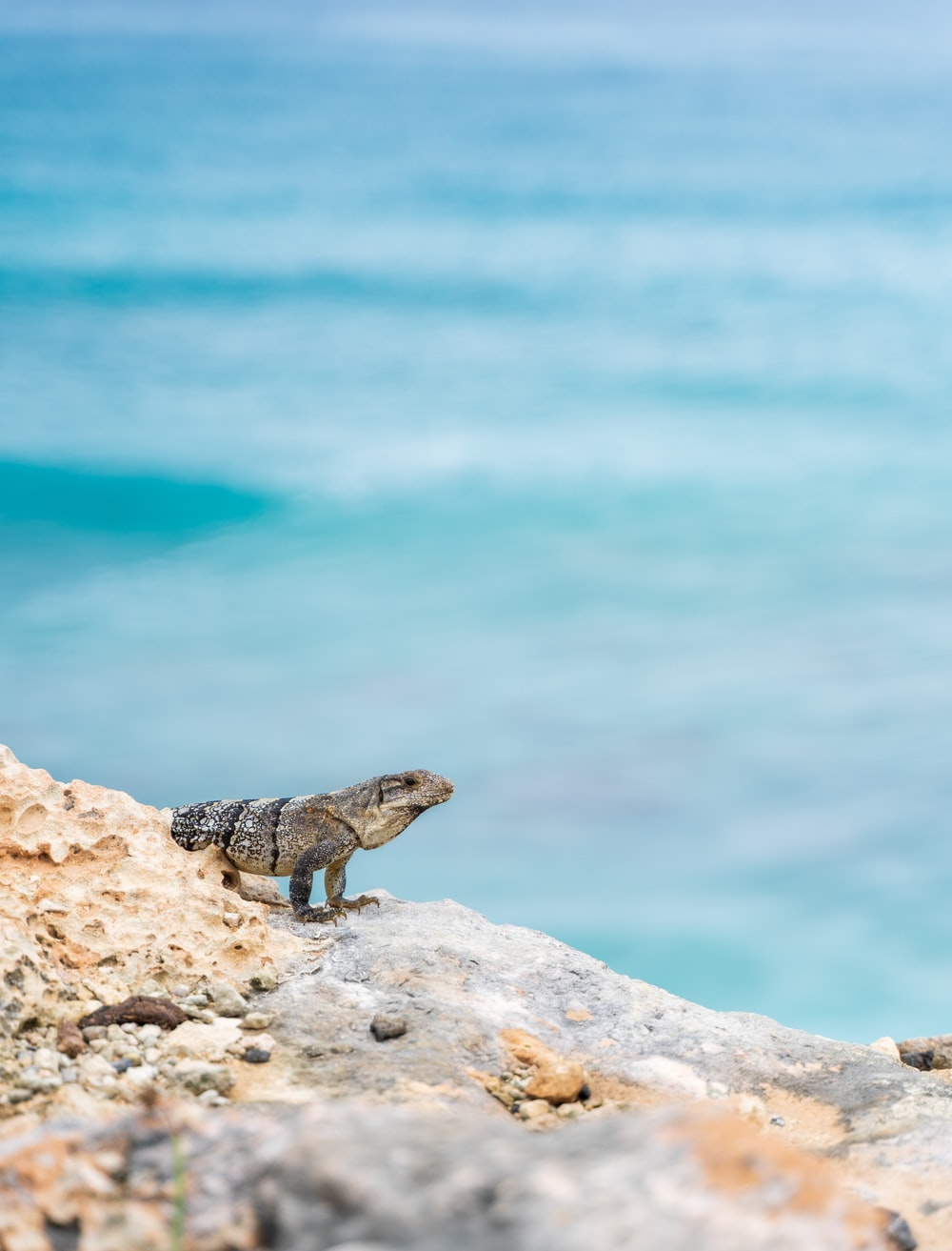 black and white lizard on rock near body of water during daytime