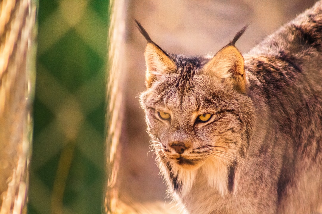 Lynx at the Exotic Feline Breeding Compound, Rosamond, CA, USA