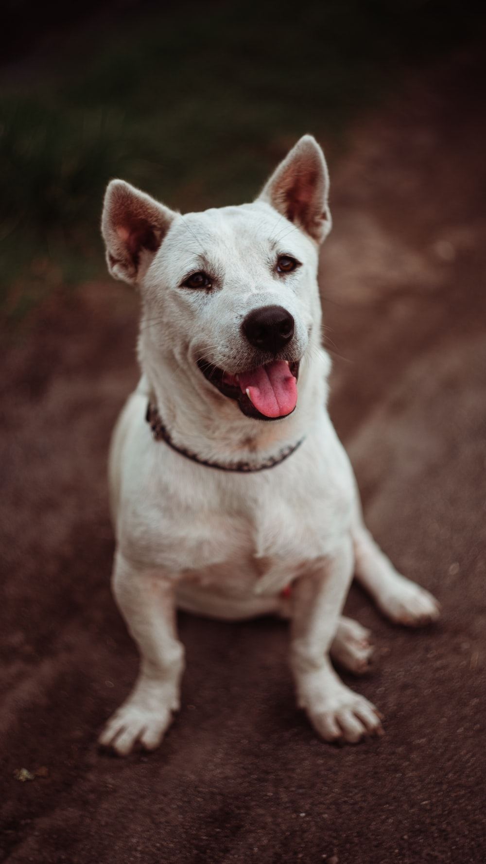 white short coated dog sitting on brown ground
