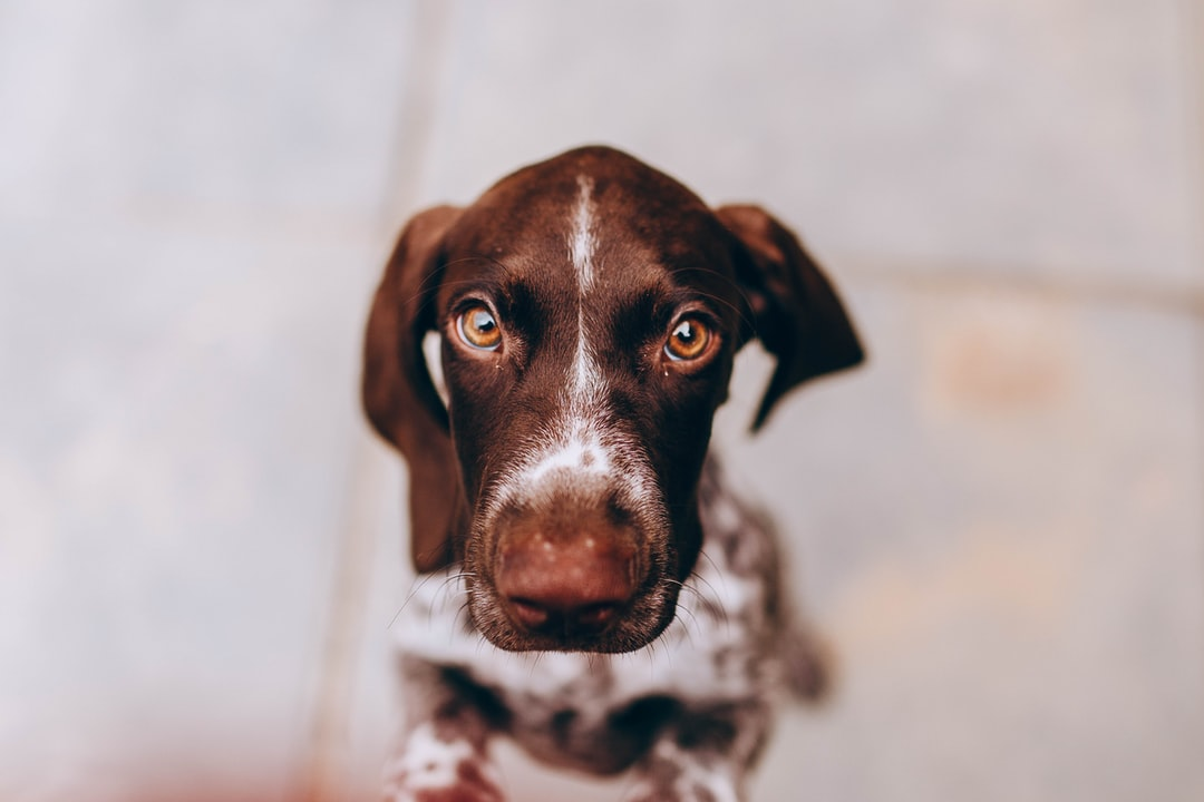 Brown and White Short Coated Dog - unsplash