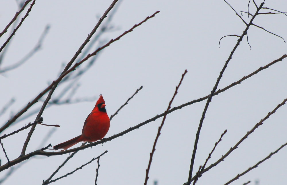 red cardinal bird perched on brown tree branch during daytime