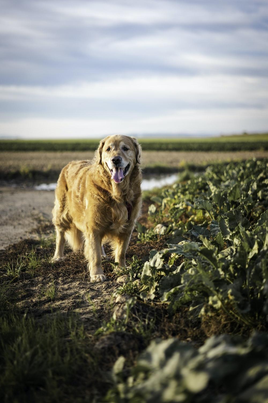golden retriever on green grass field during daytime