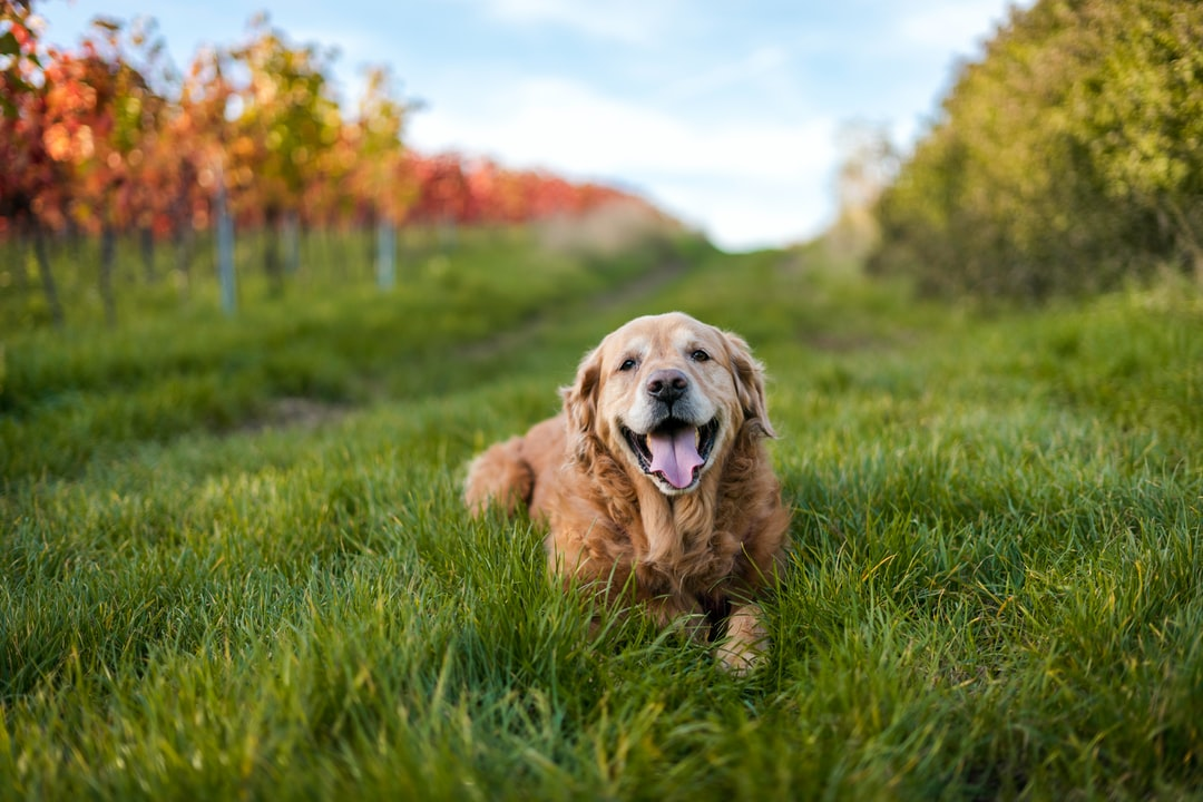 Golden Retriever Surrounded By Autumnal Blades of Grass and Vineyards. - unsplash