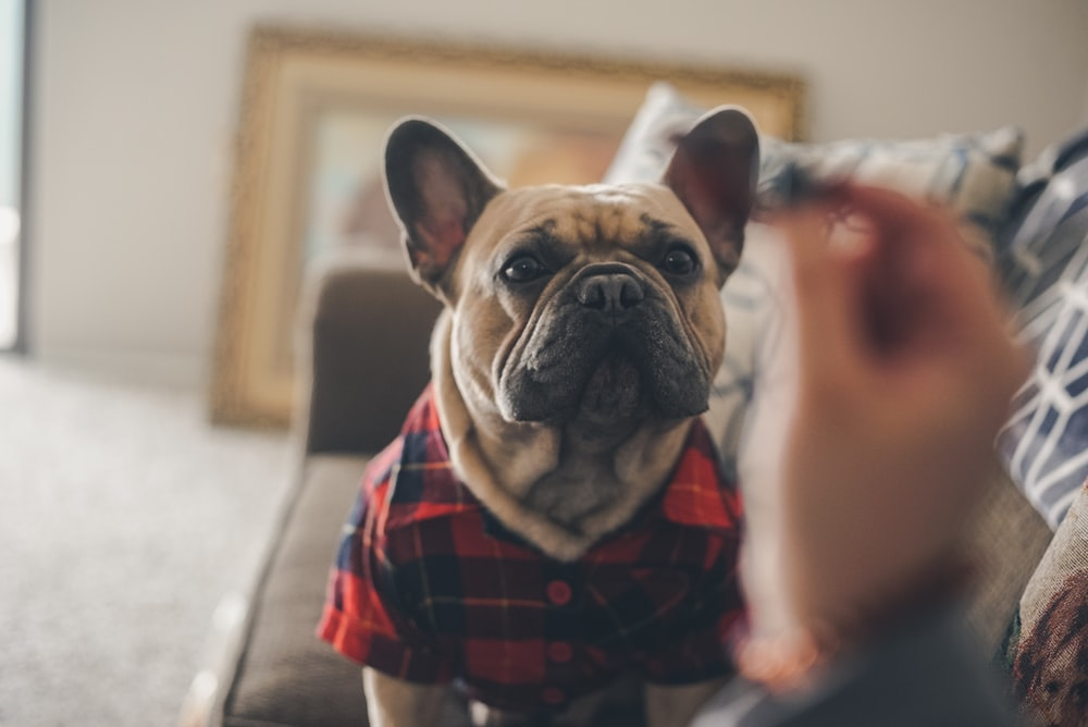 brown and white french bulldog wearing red and black checkered scarf