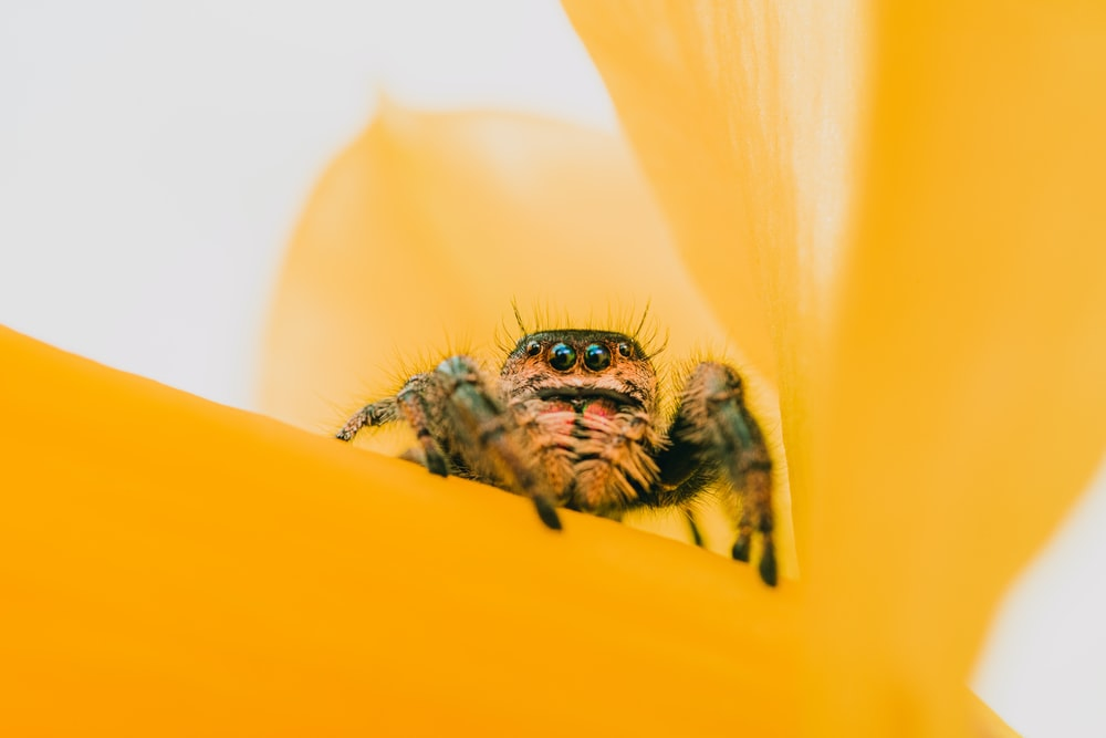 brown and black spider on yellow flower