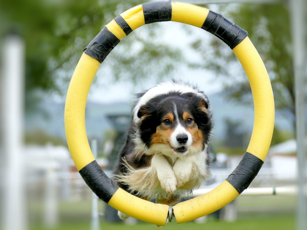black white and brown long coated dog on yellow and white inflatable ring