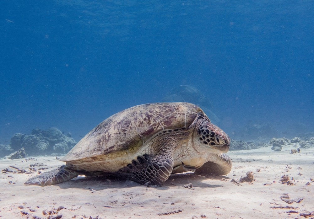 brown sea turtle under water
