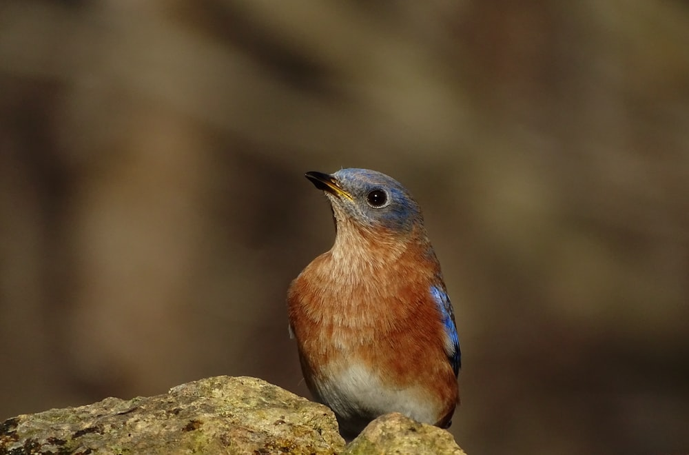 blue and brown bird on gray rock