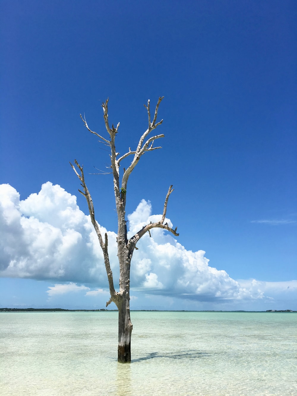 leafless tree on the beach under blue sky