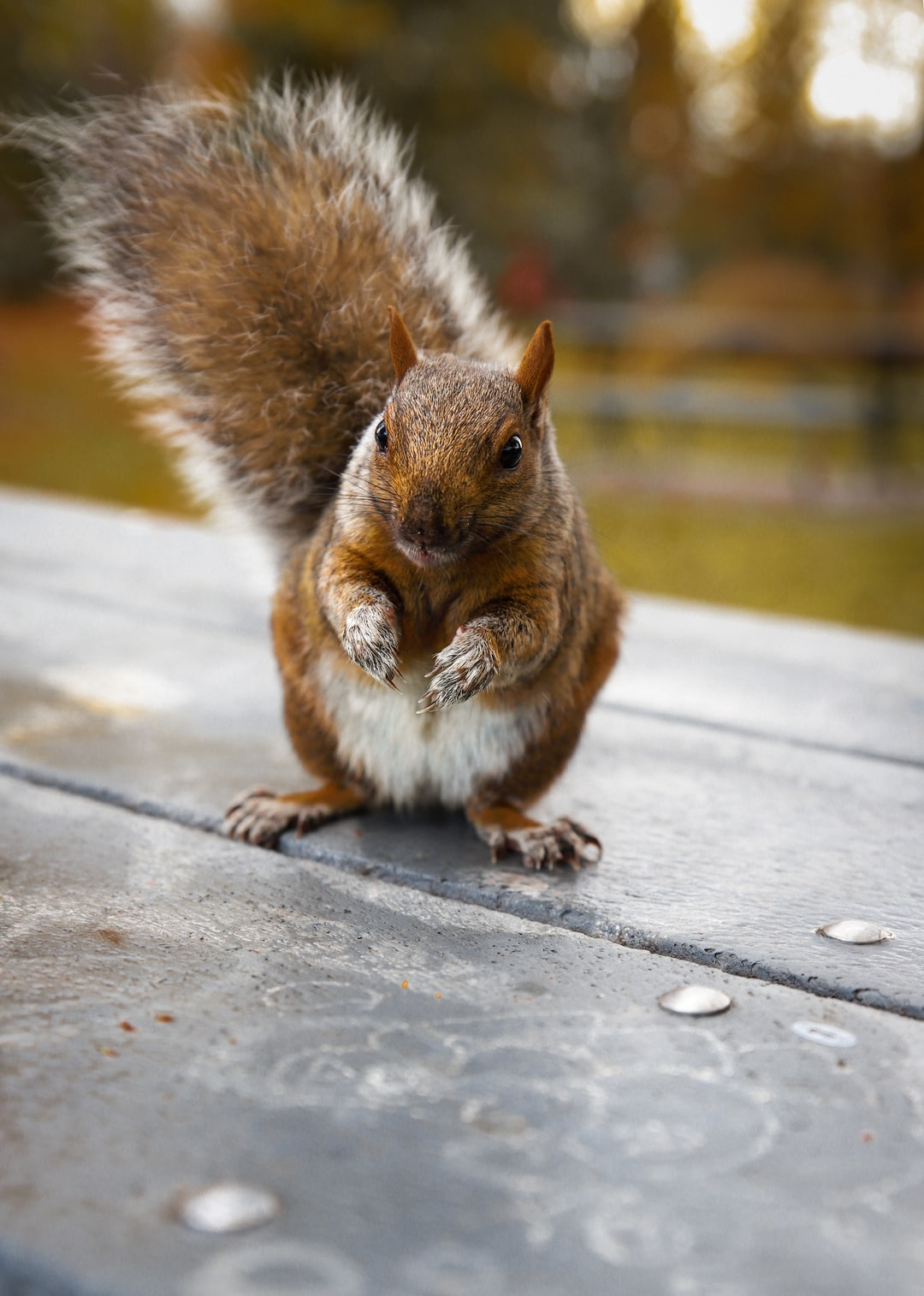 Cute baby brown squirrel standing on a table
