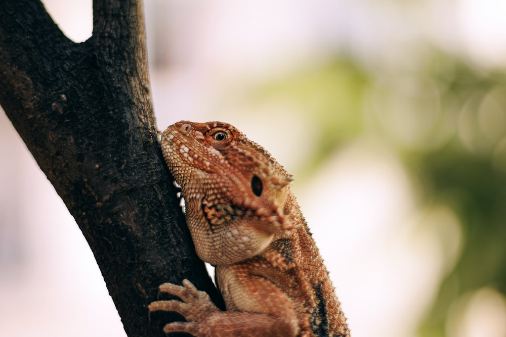 brown and white bearded dragon on brown tree branch during daytime