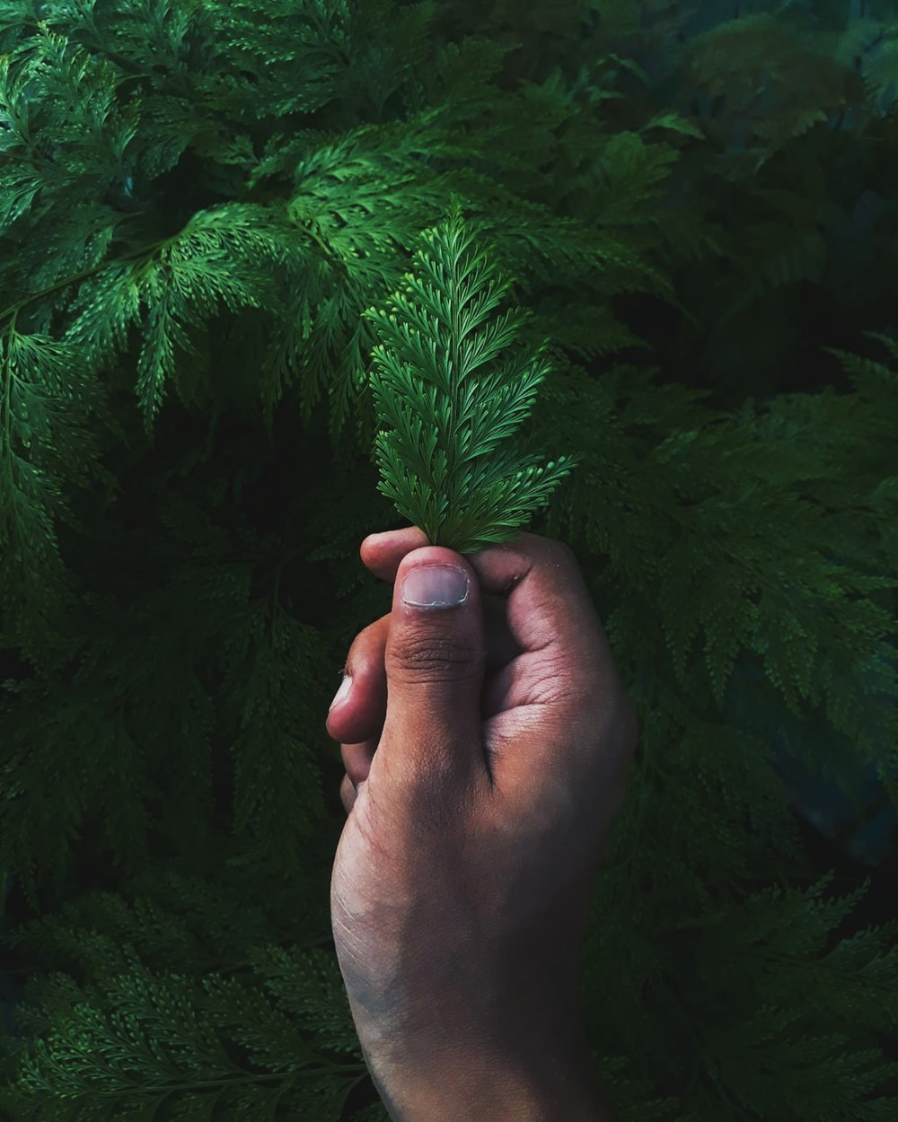 person holding green pine tree leaf