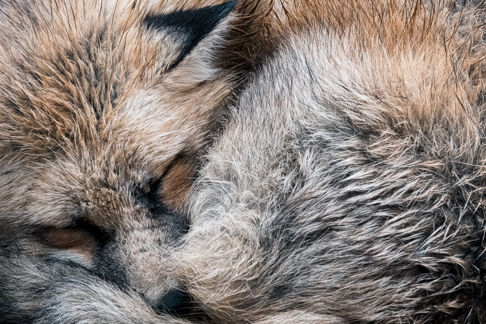 brown and white fox fur