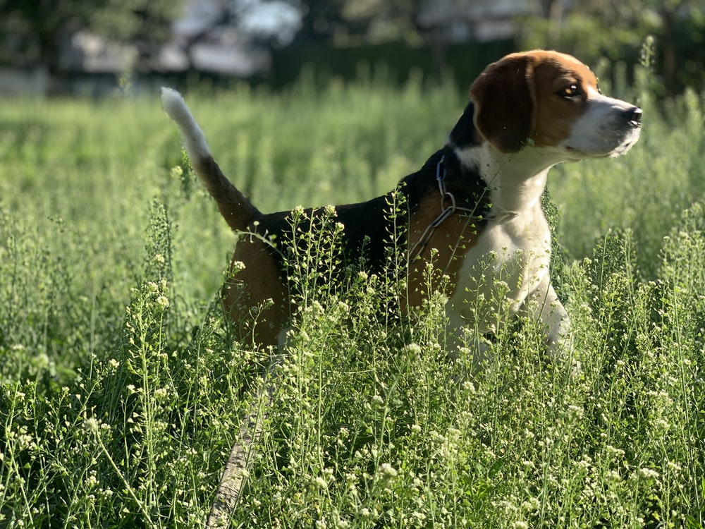 tricolor beagle on green grass field during daytime