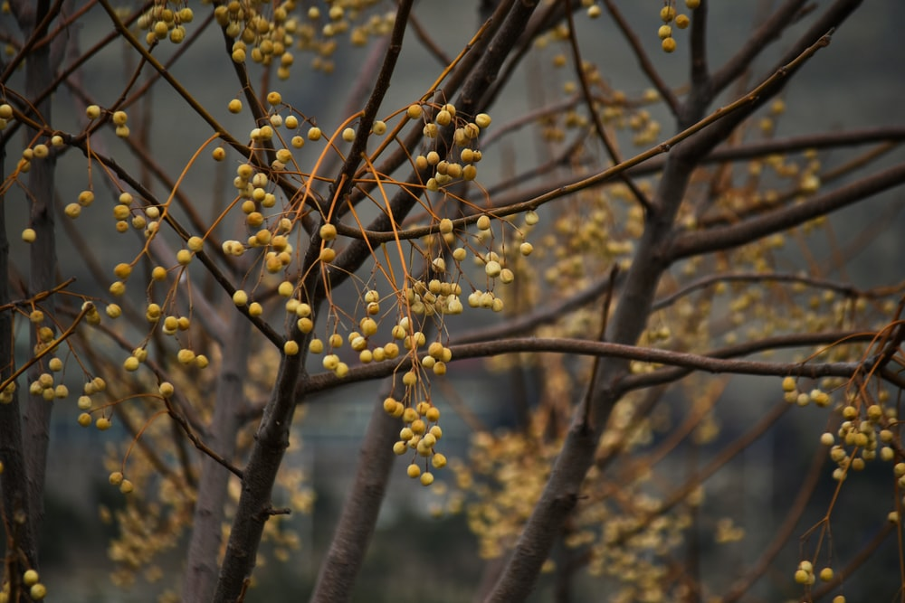 yellow round fruits on brown tree branch during daytime
