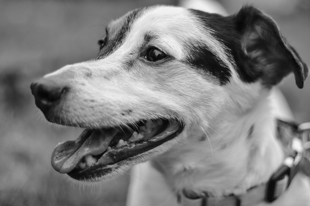 grayscale photo of dog showing tongue