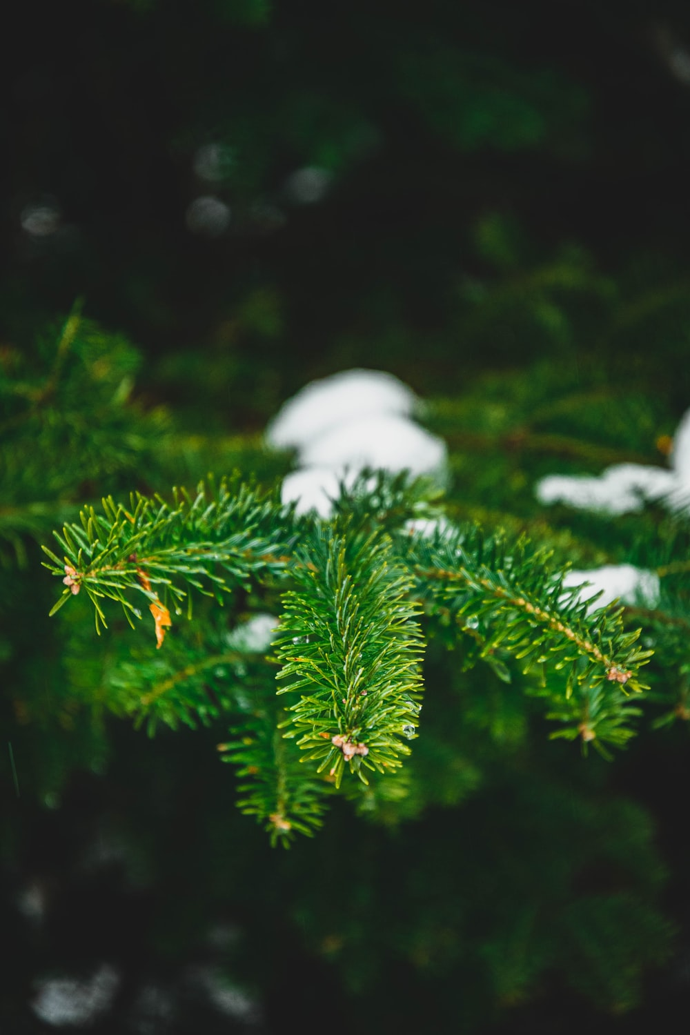 green pine tree with white snow