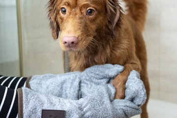brown long coated dog on blue towel