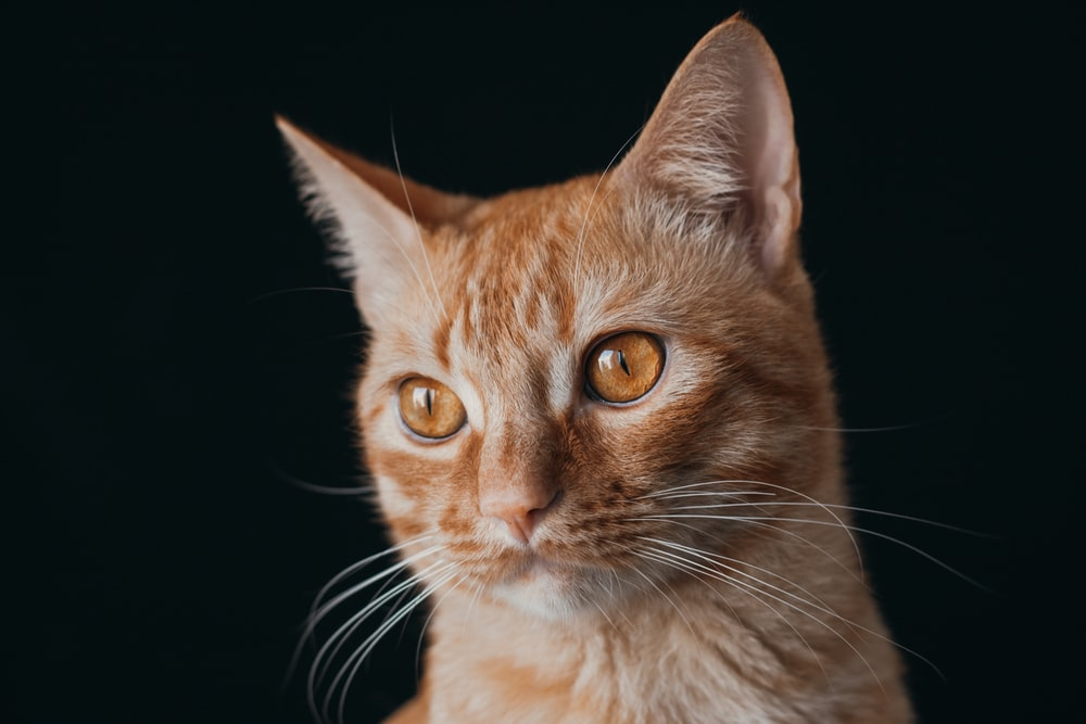 orange tabby cat with black background