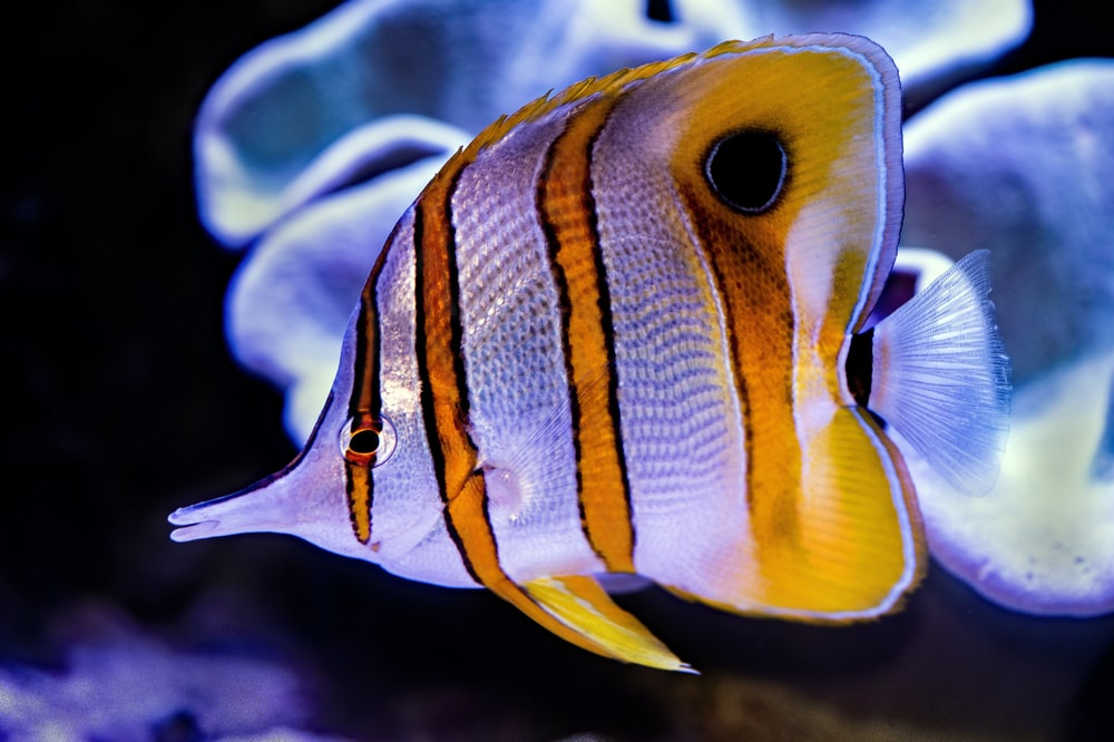 yellow and black striped fish