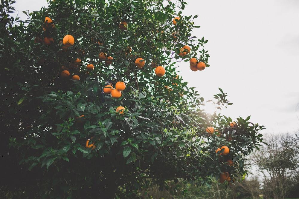 orange fruit tree during daytime