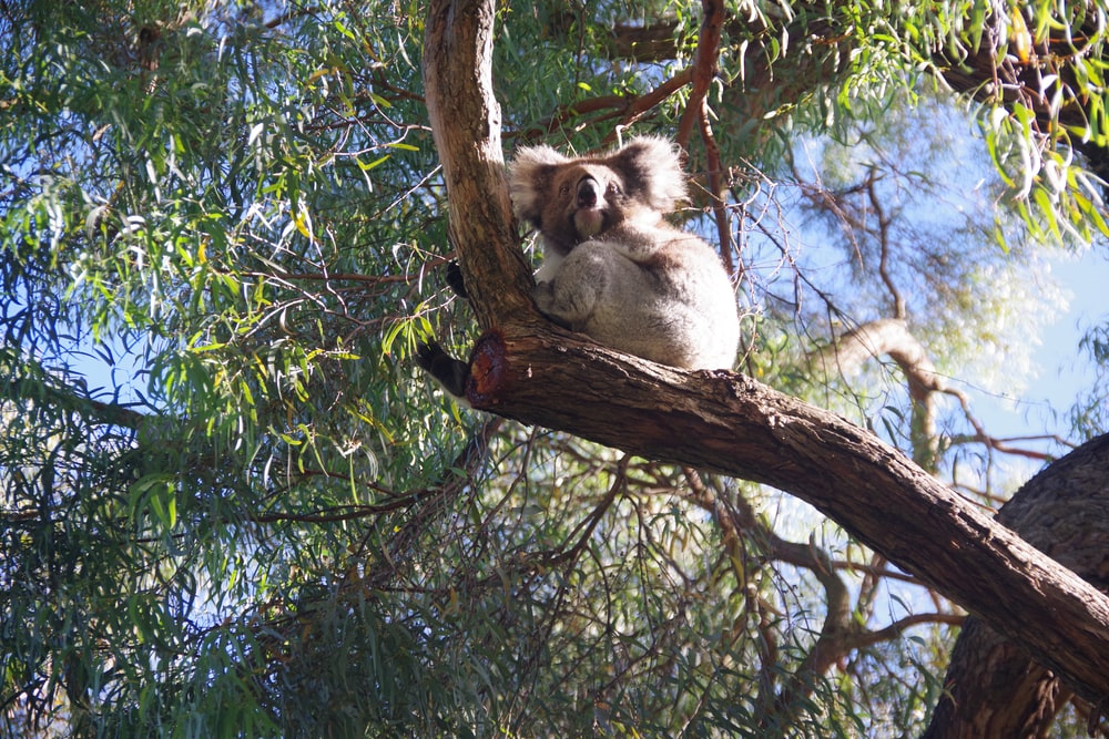 koala on tree during daytime