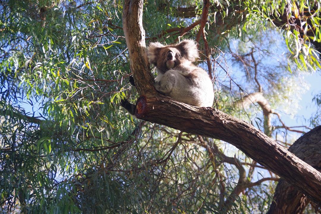 Koala in the sun