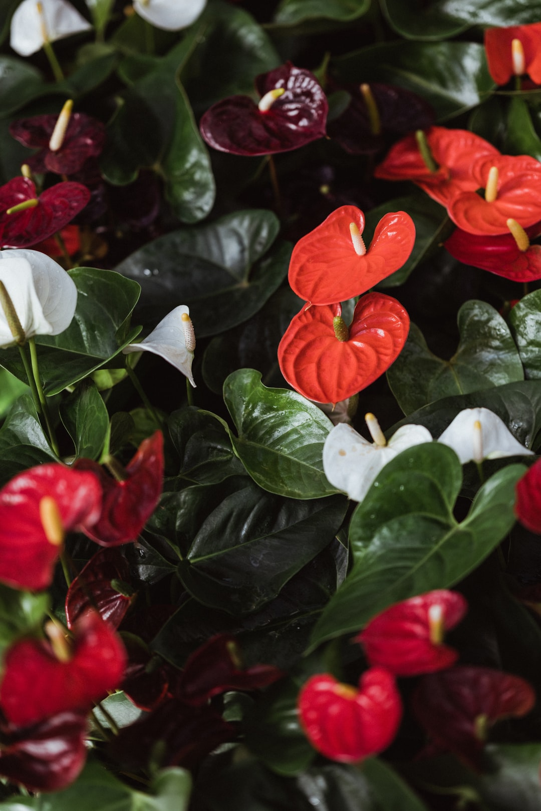 Red peace lily