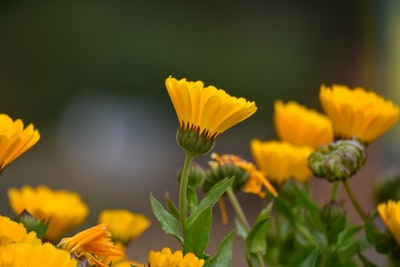 Marigold (Calendula) is a genus of about 15–20 species of annual and perennial herbaceous plants in the daisy family Asteraceae that are often known as marigolds.