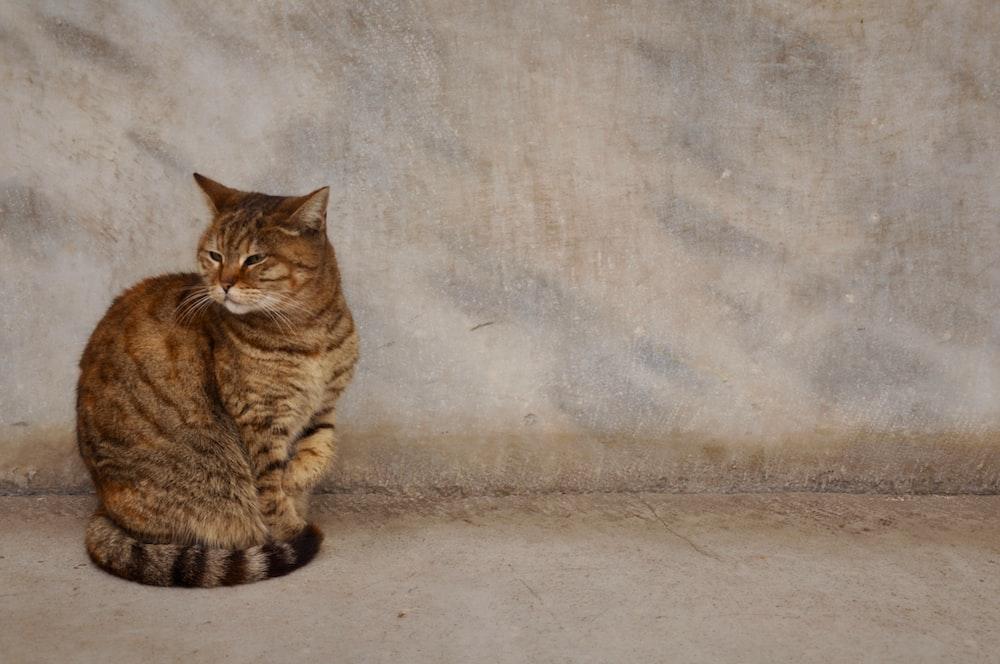 Brown Tabby Cat Sitting On Floor Photo