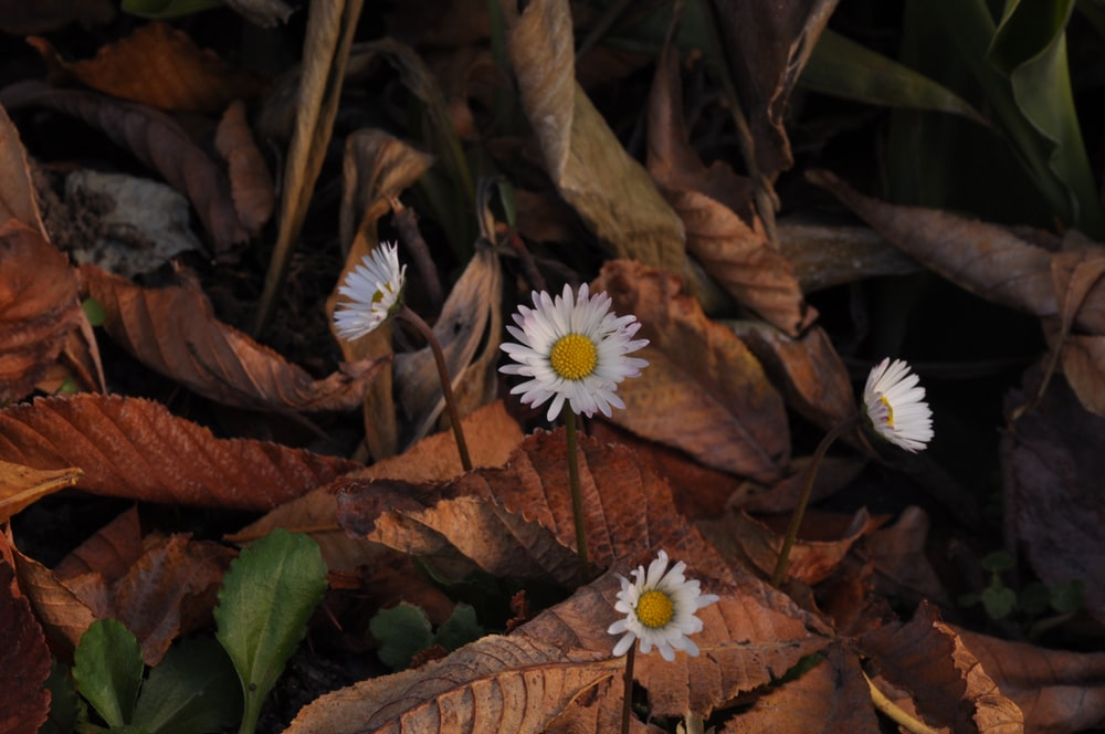 white and yellow flower on brown dried leaves