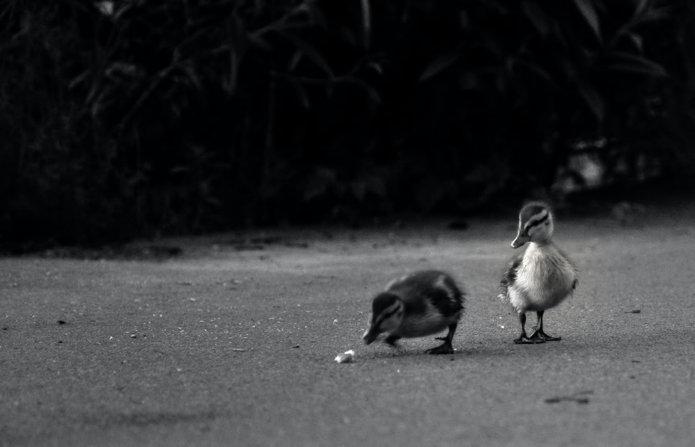 grayscale photo of two birds on road