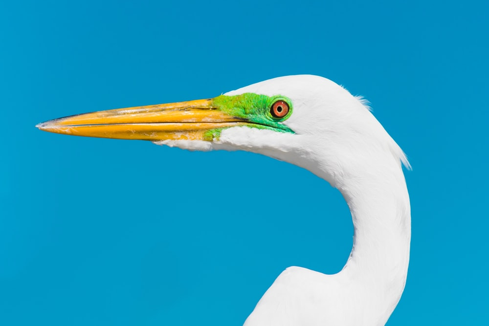 white bird with green eyes