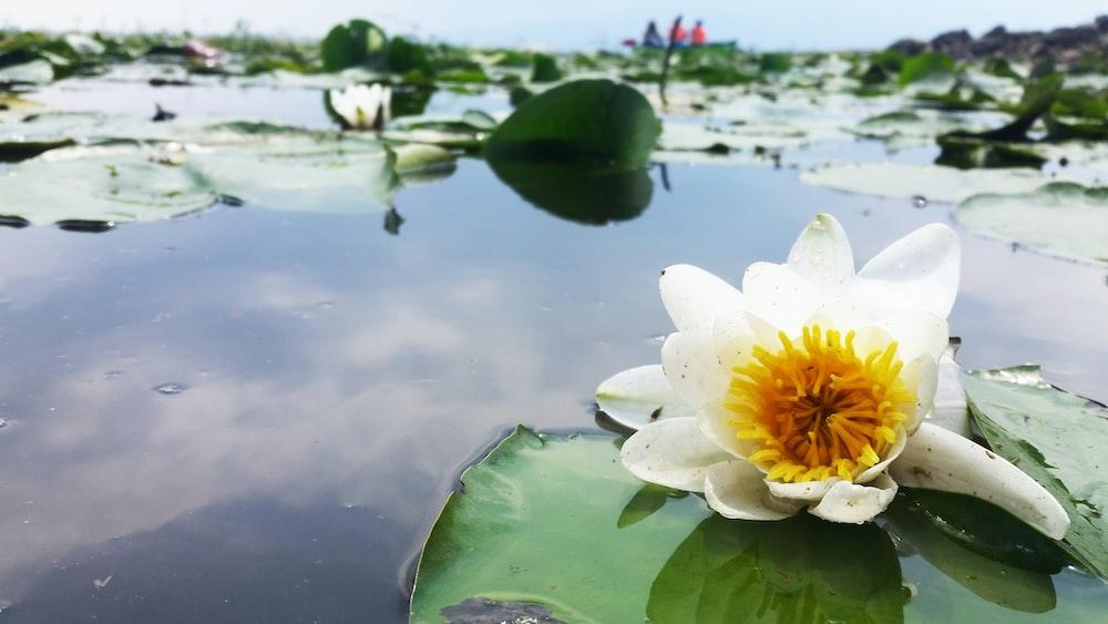 white lotus flower on water