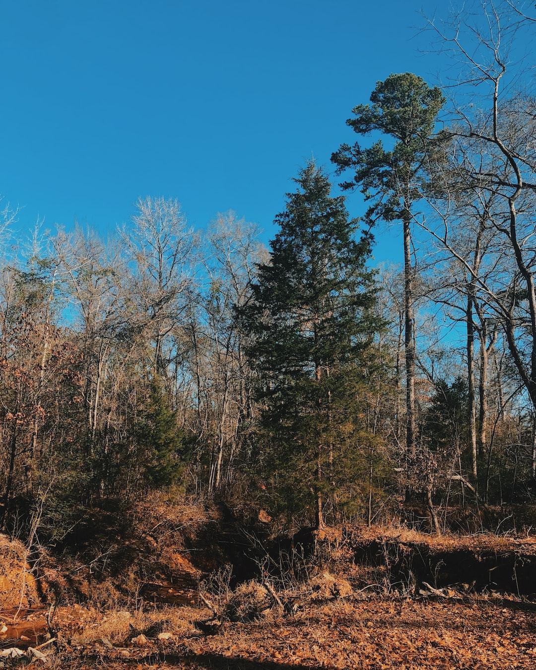texas pine standing tall