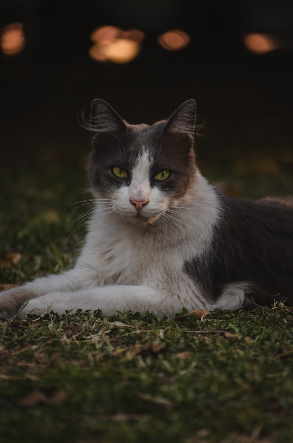 black and white cat on brown grass