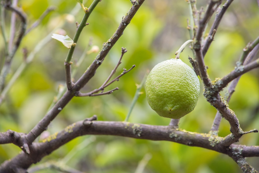 green lemon fruit on tree branch