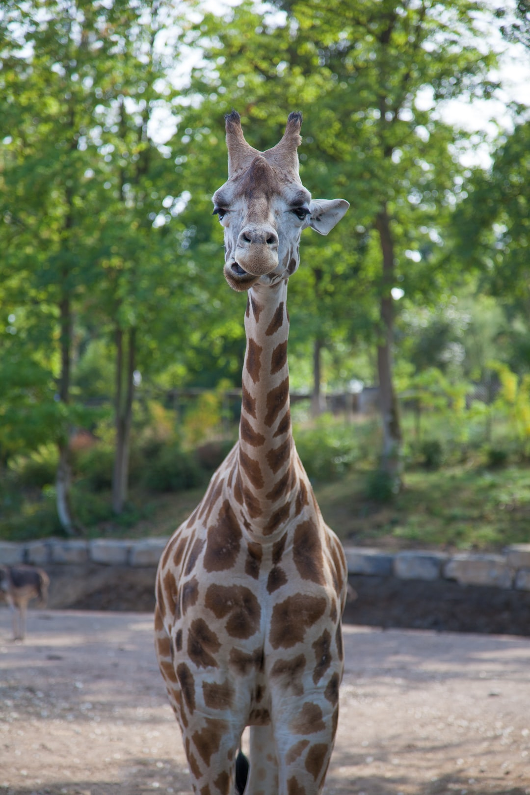 Giraffe with a goofy expression.