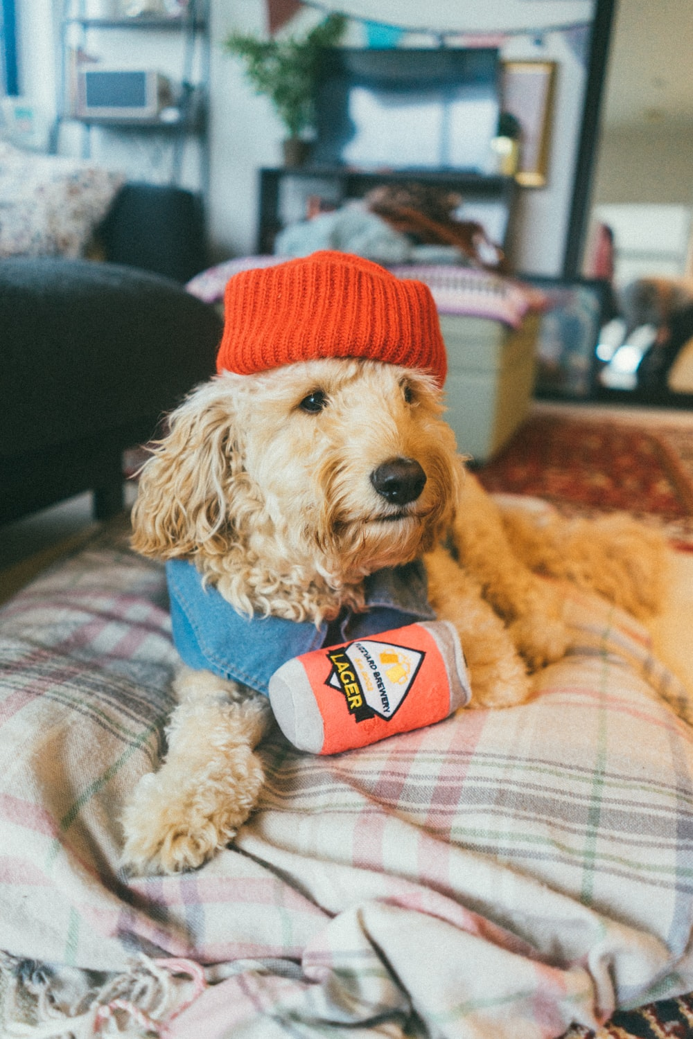 brown poodle wearing red knit hat