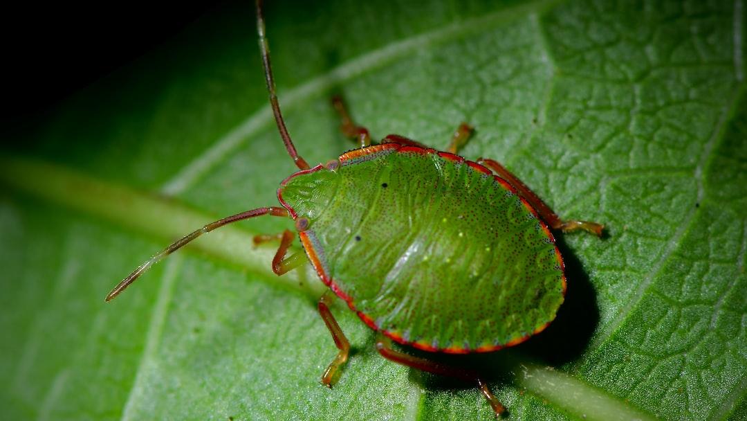 CHINCHES VERDES o CHINCHE DE ALFALFA Nombre Científico: PIEZODORUS GUILDINII Se trata de una especie descripta como Hemíptero Hetéroptero que forma parte de la familia de insectos Pentatomidae, suelen encontrarse en regiones de Sudamerica y África. Los adultos pueden medir entre 8 y 10 cm. Su color es verde pero cuando están llegando al final de su ciclo vital pueden cambiar a tonos en amarillo. Su esperanza de vida es entre 2 y 3 meses. La hembra puede poner 20 huevos en forma de hileras en las vainas de las hojas. Su alimentación es a base de semillas.  Es considerado como plaga.